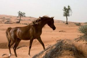 Sharjah Araber Pferd